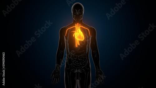 3d illustration of human body organ heart anatomy Fotobehang