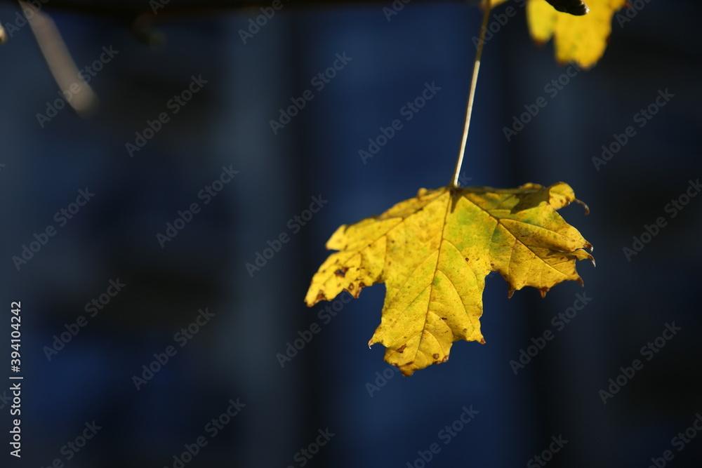 Fototapeta Żółty jesienny liść.