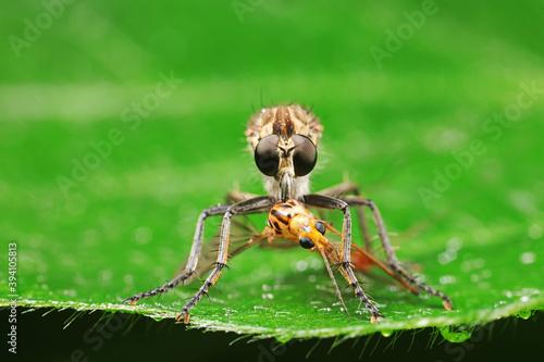 Insectivorous flies prey on weeds Fototapeta