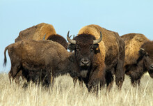 Wild American Bison Herd Grazing In Steppe.