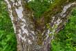 birch tree crotch