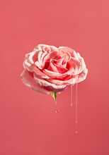 Surreal Floating Pink Rose And...