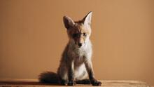 Baby Fox Portrait