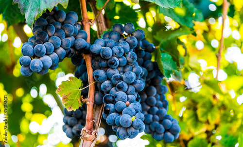 Grapes on the plantation of grapevines in Apulia, Italy