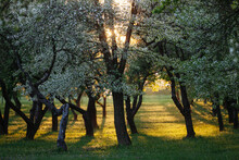 Cherry Tree Orchard