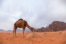 Camel Grazing In Desert