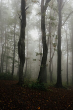 Trees In Mysterious Foggy Forest