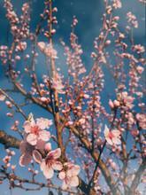 Pink Flowers On Tree In Spring