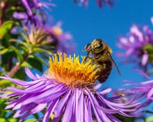 Biene Auf Lila Bühte