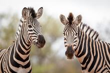 Two Zebras Standing In Kruger ...