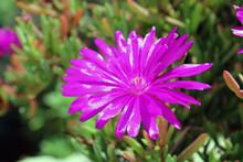 Fiore Di Drosanthemum Hispidum
