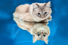 Beautiful Blue-eyed Kitten  Co...