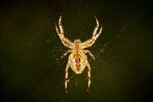 Spider, Cobweb, Insect, Macro,...