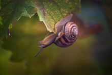 The Snail Crawls Upside Down O...