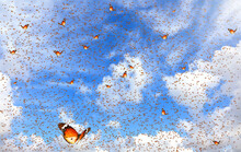 Lot Butterflies Flutter In The Bright Blue Sky On A Beautiful Sunny Day.  Monarch Butterfly Natural Migration