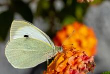 Cabbage Butterfly (Pieris Bras...