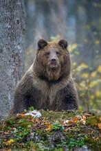 Brown Bear (Ursus Arctos) Standing On His Hind Legs In Autumn Forest. Danger Animal In Nature Habitat. Big Mammal