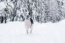 Harlequin Great Dane Dog Runni...