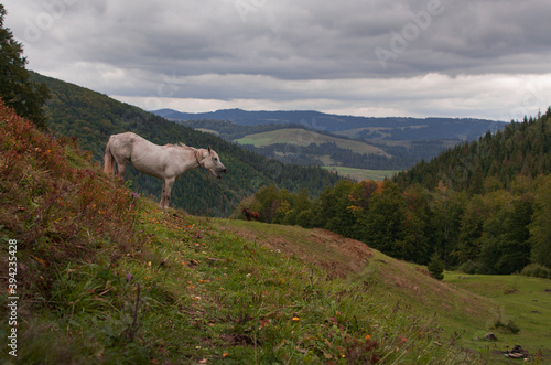 Fotografiet white horse neighs in the mountains
