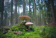 Mushrroms Growing In The An European Forest, Grey Veiled Amanitas, Scientific Name Amanita Porphyria