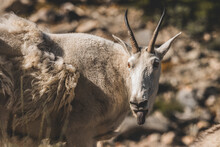Big Horn Ram And Or Sheep