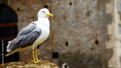 Fotografia Seagull (Larus michahellis) cleans its feathers with its beak and then looks around