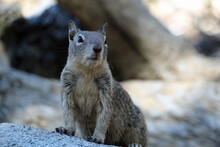 Squirrels In Yosemite National Park
