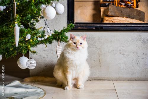 Fluffy ragdoll tomcat sitting under Christmas tree by the fireplace Tapéta, Fotótapéta
