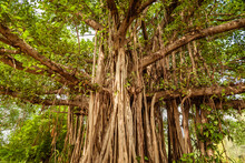 Banyan Or Banian Is A Fig That Begins Its Life As An Epiphyte. Ficus Benghalensis Or Indian Banyan Specifically Denominates Banyan Species  & Also The National Tree Of The Republic Of India.