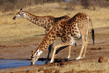 The Giraffe, South African Gir...