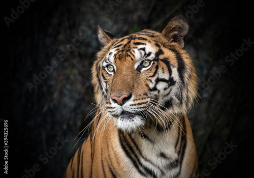 Photo Asian tiger resting in nature