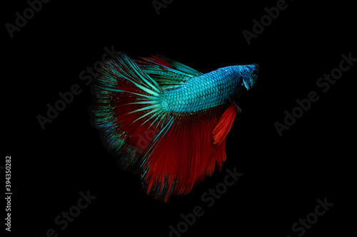 Swimming Action of Betta, Siamese fighting fish, Colourful Betta, pla-kad (bitin Fototapet