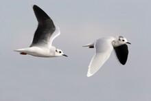 Little Gull, Hydrocoloeus Minutus, Pair In Flight