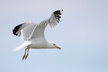 Ring Billed Gull, Larus Delawa...
