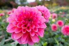 綺麗に咲くダリアの花...