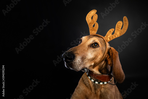 Fotografie, Tablou Christmas portrait of a brown Segugio dog wearing reindeer antlers