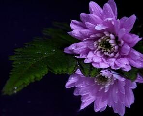 Pink flowers chryzanths and fern on dark background reflection on water tender chryzantemy i paproć  różowe i delikatne