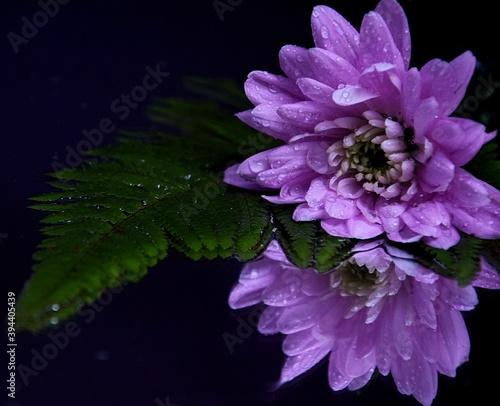 Pink flowers chryzanths and fern on dark background reflection on water tender chryzantemy i paproć  różowe i delikatne - fototapety na wymiar