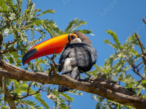 Fototapeta premium toucan on a tree