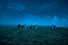 Cows Grazing In A Field At Night Under A Starry Sky