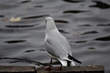 Laughing Gull Sits On A Stone ...