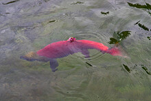 Bright Red Sockeye Salmon Foul Hooked On A Fin