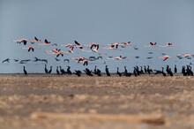 Greater Flamingos And Socotra ...