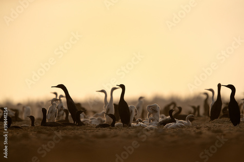 A backlit image of  a colony of Socotra cormorants with chicks at Hawar island, Bahrain Poster Mural XXL