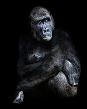 Female Gorilla Sitting With Ba...