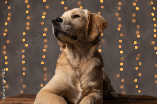 cute golden retriever dog looking to side Fototapet