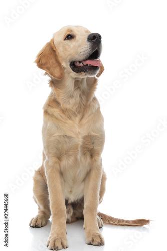 Obraz golden retriever dog sticking his tongue at his master - fototapety do salonu