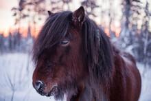 Horse At Winter, Sweden