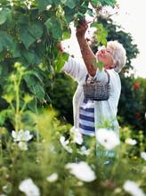 Elderly Woman Harvesting Beans, Denmark
