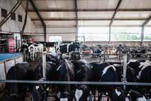 Cows In Barn, Sweden